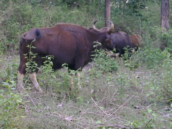 Kalpetta, India: Bison interception