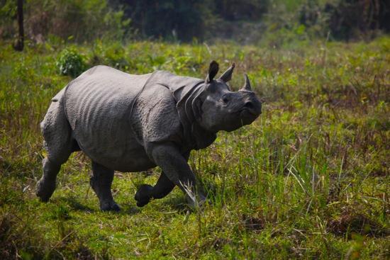 Parque Nacional de Kaziranga, India: father rhino following mother and baby rhino.
