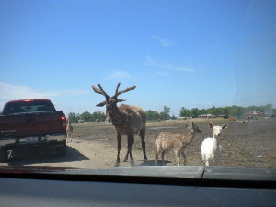 African Safari Wildlife Park: big elk