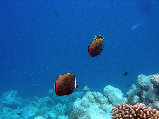 Adaaran Select Hudhuranfushi: Collared butterflyfish