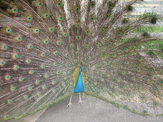 Richmond, Virginie : Peacock - Up Close and Personal!  LOL!