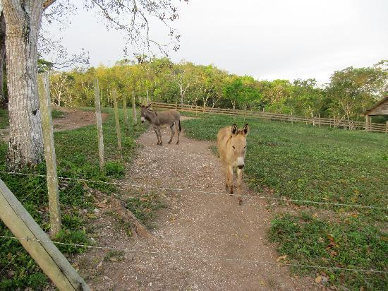 Table Rock Jungle Lodge: Early morning with the donkeys