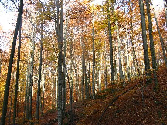 Primeval Beech Forests of the Carpathians, Ukraine: Uholka is part of the largest virgin beech forest in Europe (Ukraine)