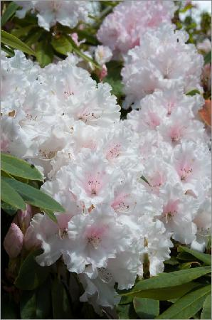 Riverhill Himalayan Gardens : Another beautiful rhododendron
