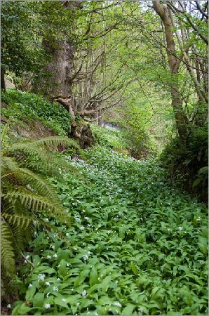 Sevenoaks, UK: A river of wild garlic!