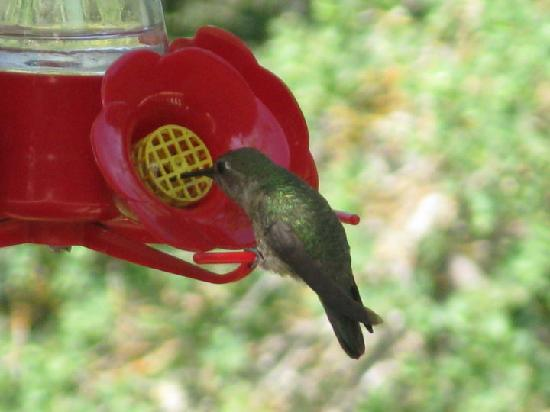 Yosemite Bed and Breakfast: One of the many, I especially love the ruby-throated ones!