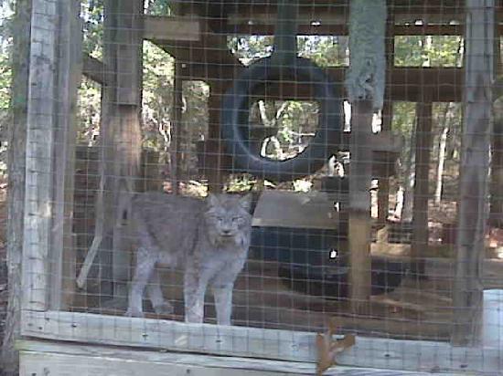 Critter Creek Farm : Lynx