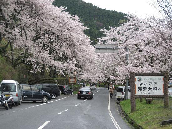 Takashima, Japonia: 海津大崎の桜のトンネル入り口