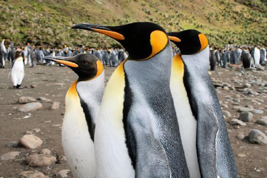 Tasmanien, Australien: Penguins