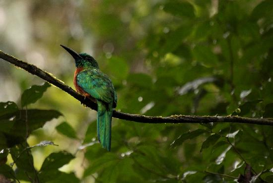 Yasuni National Park, Équateur : Great Jacamar, found in the Terra-firma forest