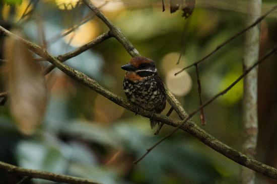 Yasuni National Park, Équateur : Spotted Puffbird; rare specie to find..