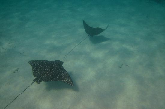 Blackbird Caye Resort: Sting rays are a common sight while snorkeling