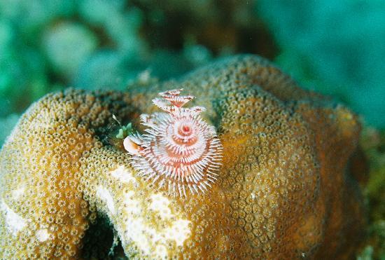 Ocean Encounters Diving: Christmas Tree worm