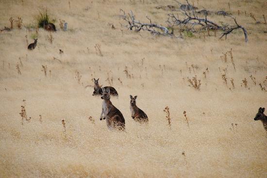Tasmanien, Australien: Kangaroos at Maria Island