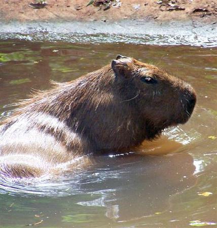 Güiráoga: A Capybara