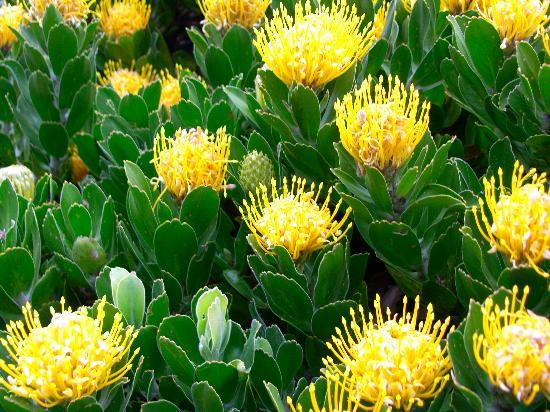 Bloubergstrand, South Africa: Local Flower