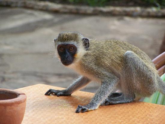 Baobab Beach Resort & Spa: Monkey on table