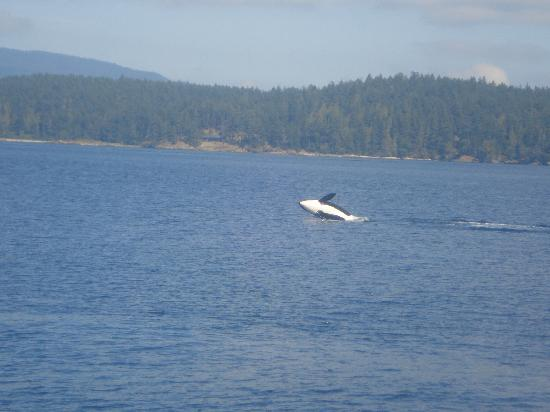 Βανκούβερ, Καναδάς: Whale watching with Steveston Seabreeze adventures
