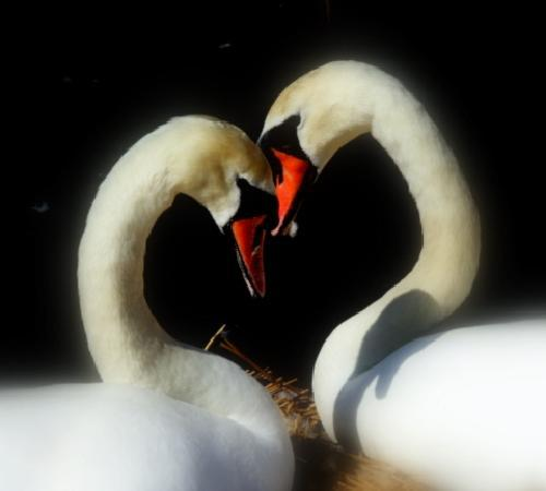 Abbotsbury Swannery: Loves young dream!