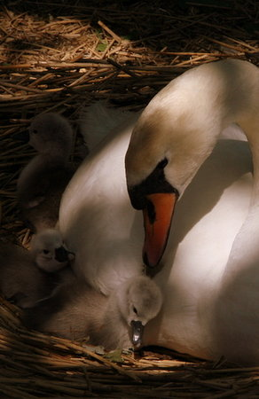 Abbotsbury, UK: Mum and chick