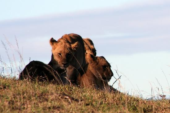 Shamwari Private Game Reserve Lodges: lions at Shamwari