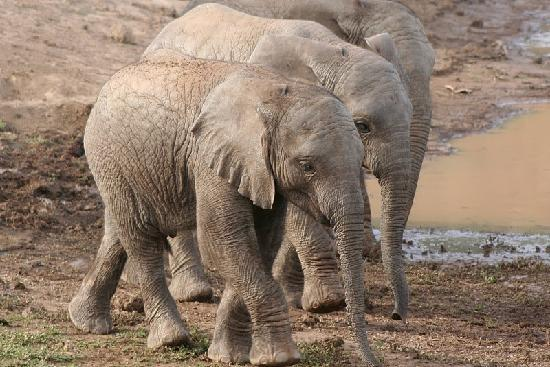 Shamwari Private Game Reserve Lodges: baby elephants at Shamwari