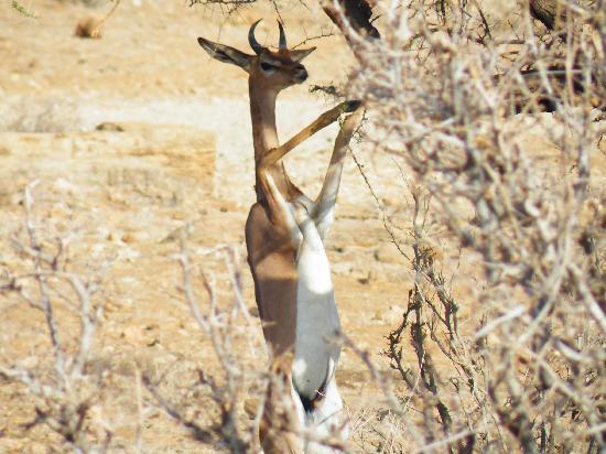 Samburu National Reserve, Kenya : -