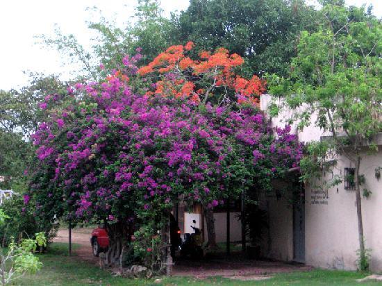 Hacienda Hotel Santo Domingo : bougainvilleas