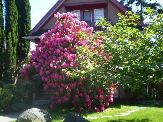 Alma Beach Suites: Rhododendron at house two doors over