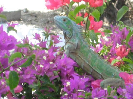 Plantation Village Beach Resort: Iguana
