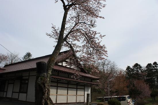 Yoshitsune Shrine: 大きな桜木
