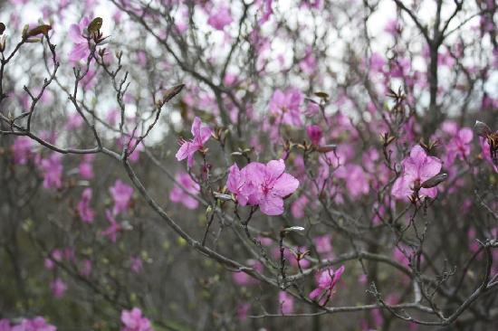 Yoshitsune Shrine: ツツジも綺麗に咲いてました。