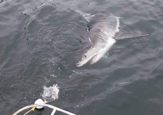 White Shark Ventures: Beautiful, majestic and scary all at once