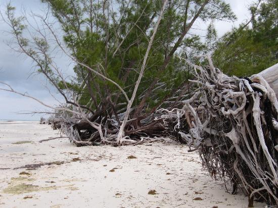 Lucayan National Park, Grand Bahama Island: Greyed roots on the beach
