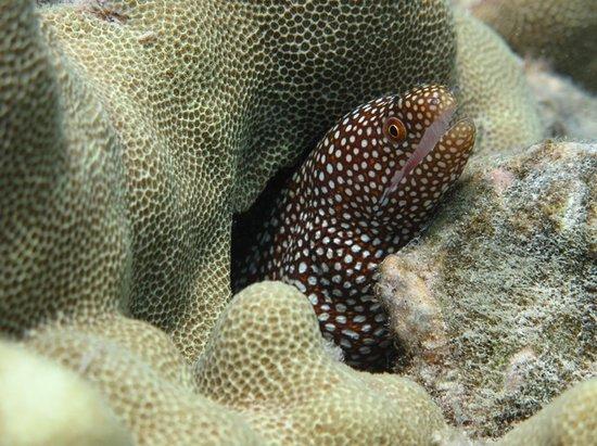 Puako, HI: Moray Eel