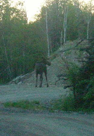 Cozy Moose Lakeside Cabin Rentals: A rather large local!!