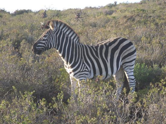 Garden Route Game Lodge: Burchell's Zebra