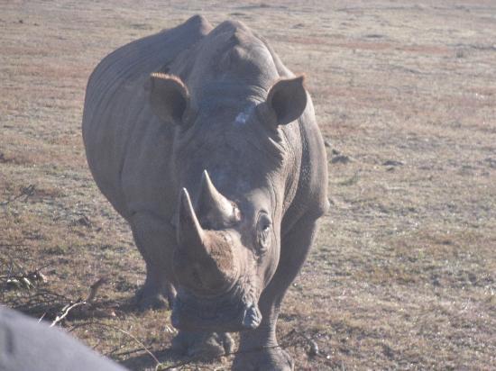 Albertina, Sydafrika: White Rhino
