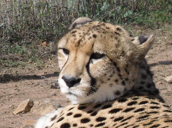 Albertina, Sydafrika: Cheetah