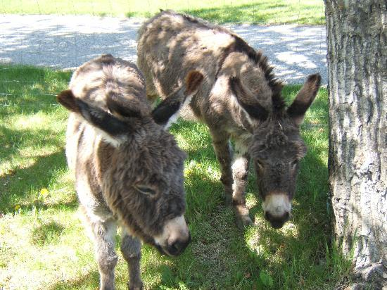 Kootenai Brown Pioneer Village: The Donkeys are here!