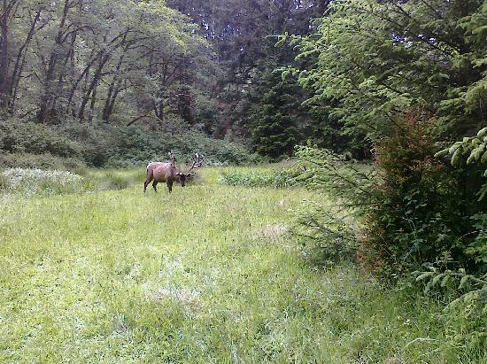 Coho Cottages: Local Elk! (there'r 3 buck in this picture, Seriously!)