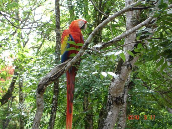 Copan, Honduras: Wild macaws outside the ruins complex