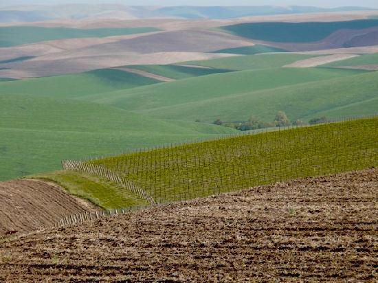 The Weinhard Hotel: Palouse vineyard in May