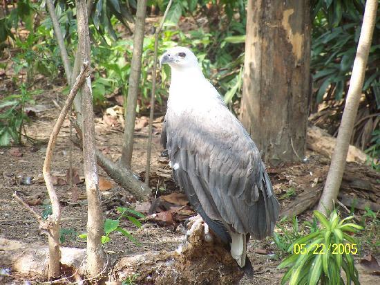 Quezon City, Filipinas: Phillipine Eagle