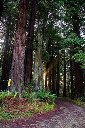 Trinidad Inn : Young redwood grove in the backyard.