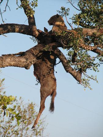 Thakadu River Camp : Lucky's Leopard up in the tree with a Wilderbeast kill !