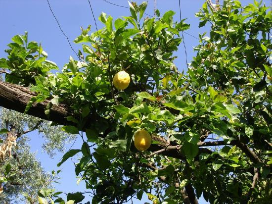 Sant'Agnello, Italy: Lemon trees in the garden