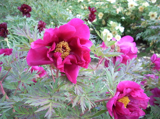 Litchfield, CT: Tree peonies in full bloom at Whiteflower Farm
