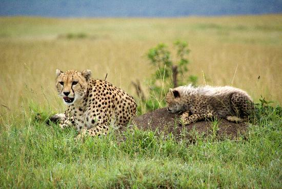 Royal Mara Safari Lodge: Cheetah and cub