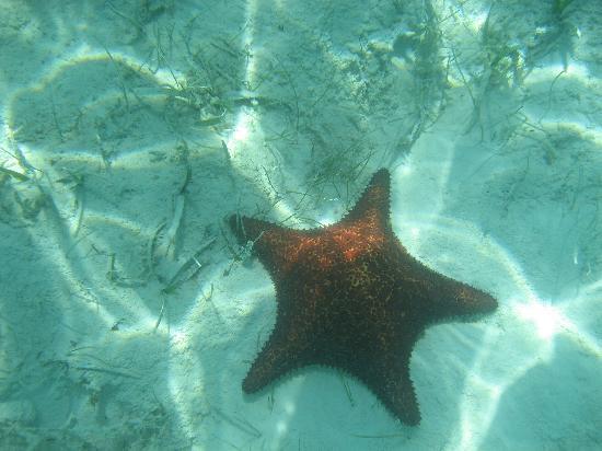Starfish The Exuma Adventure Center : Giant Starfish